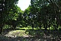 Mango farm in Sacobia - panoramio (2).jpg