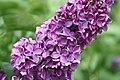 Mani ziedi My flowers - panoramio (24).jpg