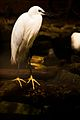Manila Zoo Little Egret.jpg