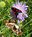 Map Butterfly u.s. and burnet moth with spider. - Flickr - gailhampshire.jpg
