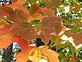 Maple leaves close up (6166904922).jpg