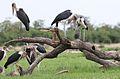 Marabou Stork, Leptoptilos crumeniferus, at the aptly named Marabou Pan, Savuti, Chobe National Park, Botswana (32746566826).jpg