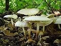 Marasmius wynneae Berk. & Broome 514394 2012-10-07 (cropped).jpg