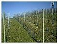 March Vine Denzlingen - Master Season Rhine Valley Photography - panoramio (2).jpg