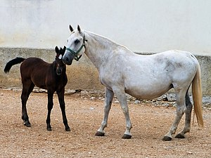 Lipizzan - Mare and dark foal