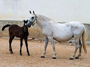 Lipizzan - Mare and dark foal