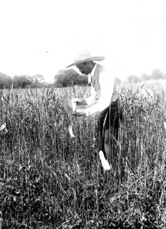 Mark A. Carleton - Mark Carleton examining experimental wheat field at Garrett Park, Maryland, in 1899