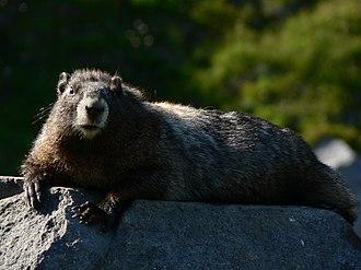 Hoary marmot - Basking behaviour, Mount Rainier National Park
