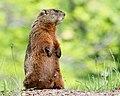 Marmota monax UL 20.jpg