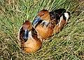 Marrecas-caneleiras - Dendrocygna bicolor.jpg