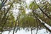 Marsh Miller Cedars.jpg