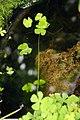 Marsilea villosa 6zz.jpg