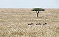 Masai mara (15415089667).jpg