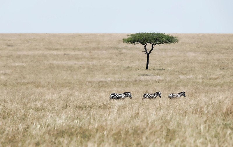 Zebras, Masai Mara Reserve. From 10 of the Best Experiences on a Safari in Africa