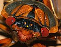 Masked Devil Cicada (5079734309).jpg