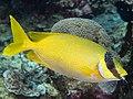 Masked rabbitfish (Siganus puellus) (33738468898).jpg