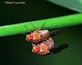 Mating Fruit Flies - Venus Drive Nature Park, off Upper Thomson area, Singapore.jpg