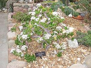 Crassula ovata - Image: Matthaei Botanical Gardens IMG 8975