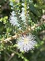 Melaleuca gibbosa white form.jpg