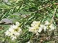 Melaleuca linariifolia.jpg