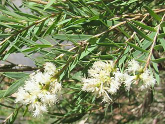 Melaleuca linariifolia - Melaleuca linariifolia leaves and flowers
