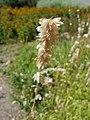 Melica altissima 2018-07-09 4860.jpg