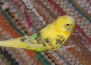 Recessive Pied budgerigar mutation - Image: Melopsittacus undulatus Recessive Pied mutation pet on carpet
