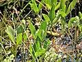 Menyanthes trifoliata. Trébole d'agua.jpg