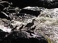 Merganetta armata (Pato de torrente) - Familia (14067115497).jpg