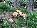 Meripilus giganteus 52605105.jpg