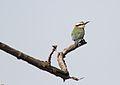 Merops albicollis (Meropidae) (White-throated Bee-eater), Shai Hills Reserve, Ghana - 2.jpg