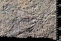 Mesocupes (Cainomerga) palaeocenicus holotype MNHN.F.A51117 indirect lighting.jpg