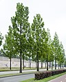 Metasequoia glyptostroboides Eindhoven 27 MG 3524.jpg