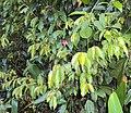 Meteoromyrtus wynaadensis 17.JPG