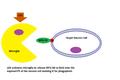 Microglia phagoptosis of neuron cell.png