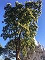 Millingtonia hortensis Aspect général.jpg