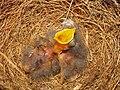 Mimus polyglottos one day old 05.jpg