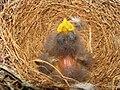 Mimus polyglottos two days old 02.jpg