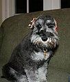 Miniature Schnauzer with a bandana (Cindy; my schnauzer).jpg