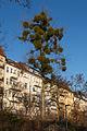 Mistelbaum an der Schöneberger Schleife 20151229 4.jpg