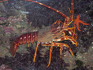 Cancrinos - Spiny lobsters, such as this Palinurus elephas, have long second antennae, made up of countless segments.