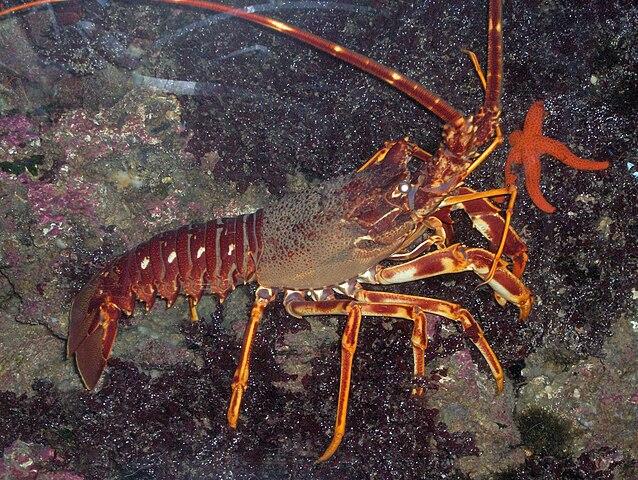 Morské príbuzné rakov sú langusty, ktoré sa lovia pre chutné mäso