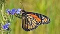 Monarch (Danaus plexippus) - Guelph, Ontario 02.jpg