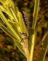 Monarch Caterpillar (4438968625).jpg
