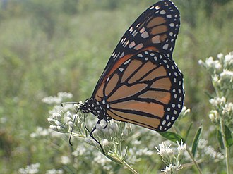 Monarch butterfly - Monarch butterfly