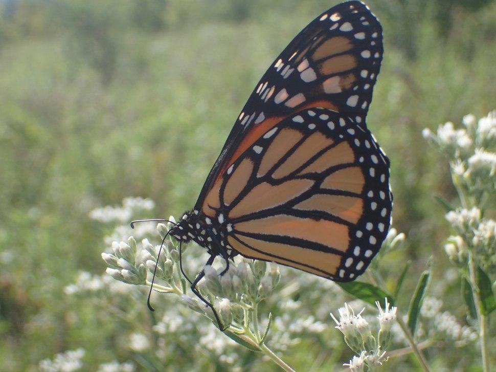 Monarch on boneset