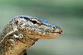 Monitor Lizard (3679435488).jpg