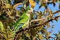 Monk Parakeet (Myiopsitta monachus) (28055658532).jpg