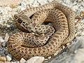 Montpellier Snake (Malpolon monspessulanus) juvenile male (Found by Jean Nicolas) (29506843527).jpg