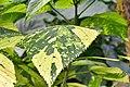 Mony plant.jpg